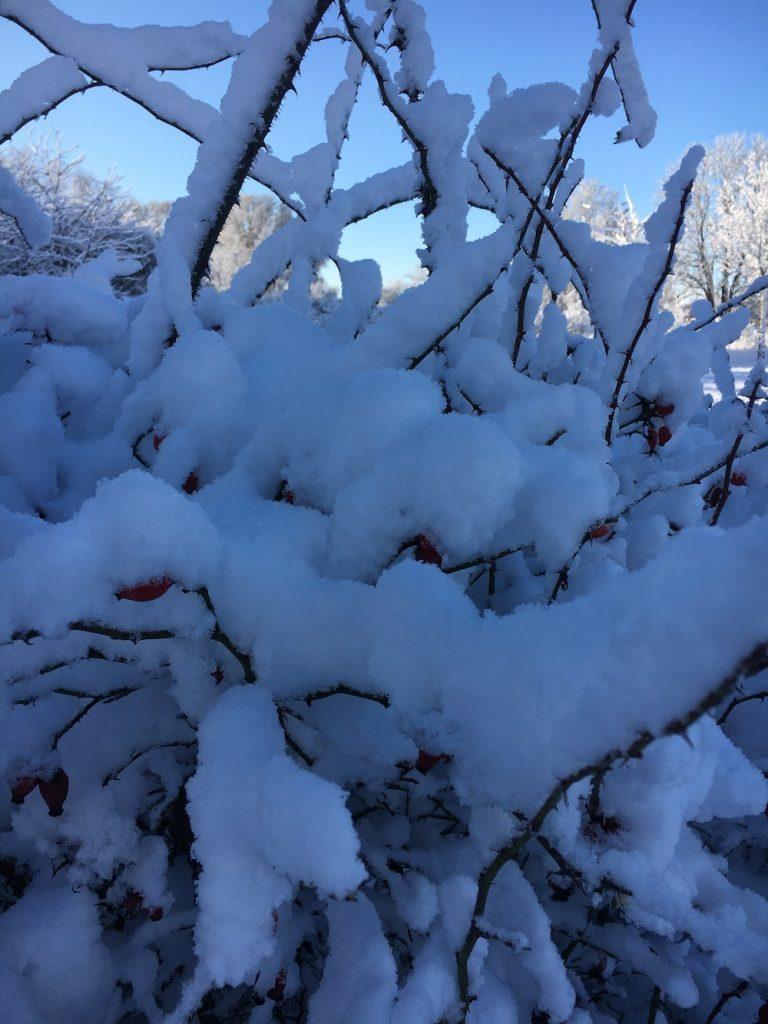Rosenstrauch im Schnee